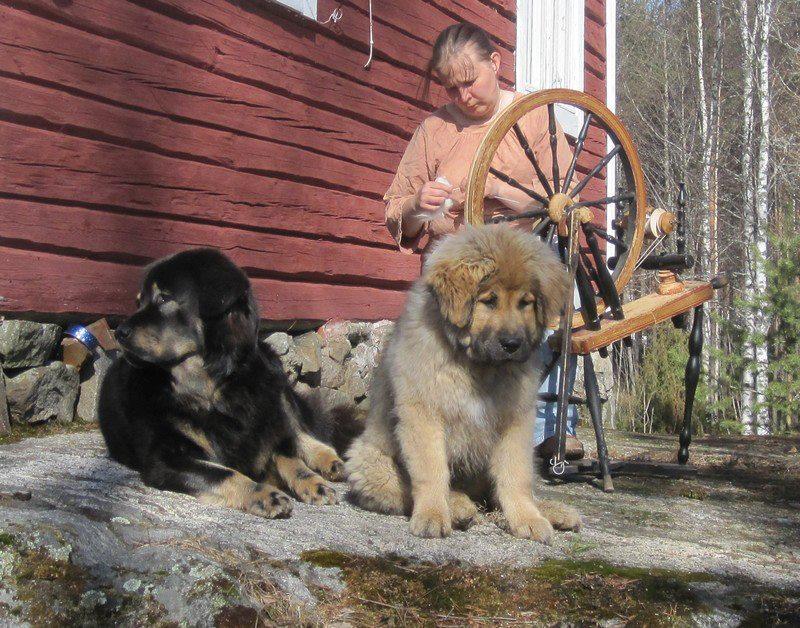 Koira ja rukki